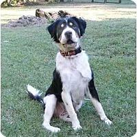 Adopt A Pet :: Lauren - Mocksville, NC