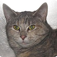Domestic Shorthair Cat for adoption in Walden, New York - Bessy