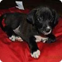 Adopt A Pet :: Baby Boy Chase - Marlton, NJ