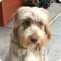 Adopt A Pet :: Ameli - San Francisco, CA