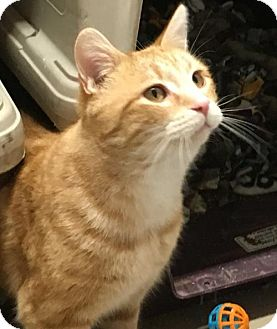 Domestic Shorthair Cat for adoption in Adams, Wisconsin - Casey