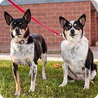 Adopt A Pet :: Abigail 2015 - Rochester, MN
