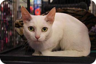 Domestic Shorthair Cat for adoption in Hamilton, Ontario - Aria
