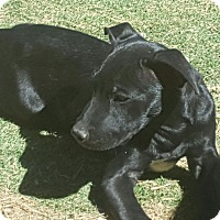 Shepherd (Unknown Type)/American Staffordshire Terrier Mix Puppy for adoption in Las Cruces, New Mexico - Rowdy