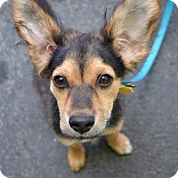 Adopt A Pet :: Capone - San Diego, CA