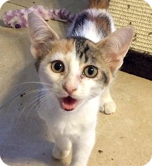 Domestic Shorthair Kitten for adoption in Savannah, Georgia - Ross