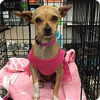 Adopt A Pet :: Bootsie - Schertz, TX