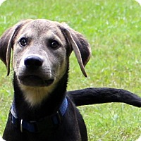 Labrador Retriever/Husky Mix Puppy for adoption in Glastonbury, Connecticut - Gill