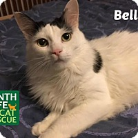 Domestic Mediumhair Cat for adoption in Oakville, Ontario - Bella