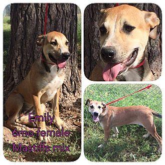 Mastiff Mix Puppy for adoption in DeForest, Wisconsin - Emily