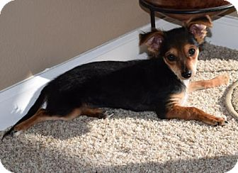 Chihuahua/Dachshund Mix Puppy for adoption in Westminster, Colorado - Charlie  courtesy listing