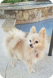 Pomeranian Dog for adoption in conroe, Texas - Sunrise