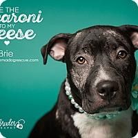 Adopt A Pet :: Brie - Bergen County, NJ