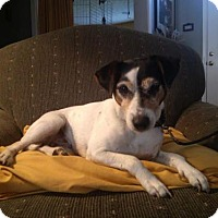Jack Russell Terrier Mix Dog for adoption in Columbia, Tennessee - May May/TN