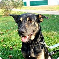 German Shepherd Dog/Labrador Retriever Mix Dog for adoption in Sparta, New Jersey - Twix