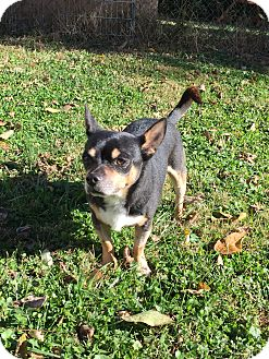 Chihuahua Mix Dog for adoption in Dayton, Ohio - Sam - Cincinnati, OH
