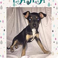 Adopt A Pet :: Layla - Patterson, NY