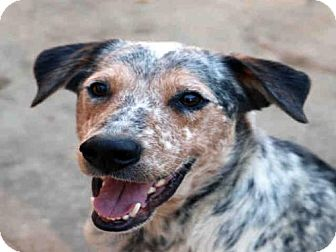 Australian Cattle Dog Dog for adoption in Fort Walton Beach, Florida - BRULEE