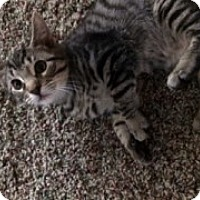 Adopt A Pet :: Tiger - McHenry, IL