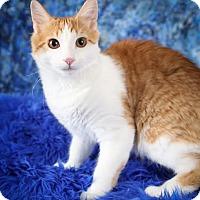 Adopt A Pet :: Boomer - Plymouth, MN