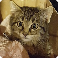 Domestic Mediumhair Cat for adoption in Buhl, Idaho - Olive