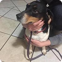 Adopt A Pet :: Piper - DuQuoin, IL