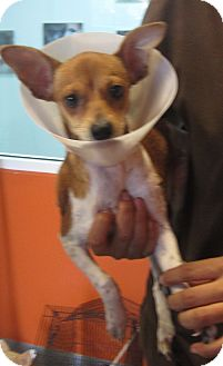 Basenji/Chihuahua Mix Puppy for adoption in Westminster, California ...
