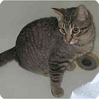 Domestic Shorthair Cat for adoption in Union Lake, Michigan - Otis>^.,.^< $35 adoption