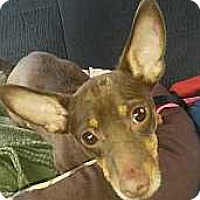Miniature Pinscher Mix Dog for adoption in Columbus, Ohio - Jerry