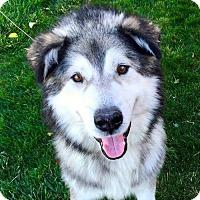 Adopt A Pet :: Bruin - Provo, UT
