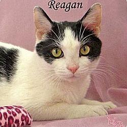 Photo 1 - Domestic Shorthair Cat for adoption in St Louis, Missouri - Reagan