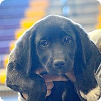 Adopt A Pet :: Jackee~ meet me! - Glastonbury, CT