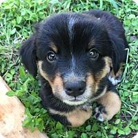Adopt A Pet :: Victor - Austin, TX