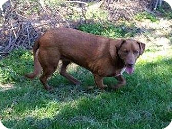 Pit Bull Terrier/Labrador Retriever Mix Dog for adoption in Marlinton, West Virginia - Cocoa