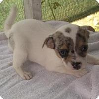 Adopt A Pet :: Baby Girl JRT - Bonifay, FL