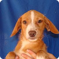 Adopt A Pet :: Fireball - Oviedo, FL