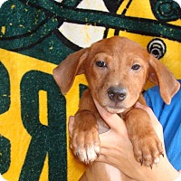 Adopt A Pet :: Calie - Oviedo, FL