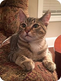 Domestic Shorthair Kitten for adoption in Nashville, Tennessee - Russell