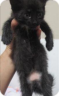 Domestic Mediumhair Cat for adoption in Dallas, Georgia - 16-08-2390c Clawhauser