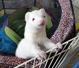 Ferret for adoption in Brandy Station, Virginia - LILLY & ZEPPELIN
