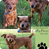 Dachshund/Chihuahua Mix Dog for adoption in Spring, Texas - Colby Bean