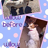 Adopt A Pet :: Willow - Enid, OK