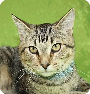 Domestic Shorthair Cat for adoption in Jackson, Michigan - Milo