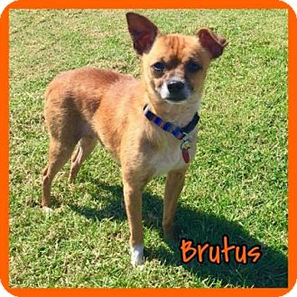 Chihuahua Dog for adoption in Jasper, Indiana - Brutus