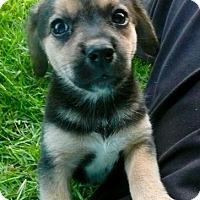 Adopt A Pet :: Cookydoo - East Windsor, CT