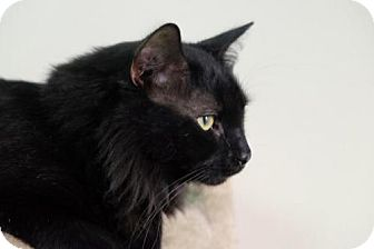 Domestic Longhair Cat for adoption in Des Moines, Iowa - Chavez