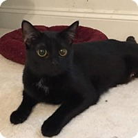 Domestic Shorthair Cat for adoption in Herndon, Virginia - Oni