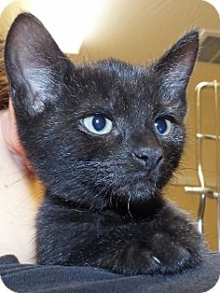 Siamese Kitten for adoption in Grants Pass, Oregon - Anna