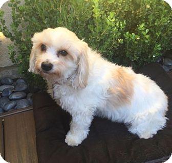 Cockapoo Mix Dog for adoption in Temecula, California - Maxwell