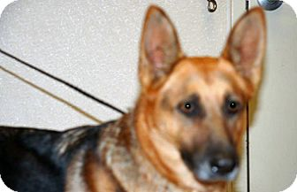 German Shepherd Dog Mix Dog for adoption in Wildomar, California - Connie